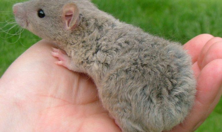 Qué hace tan especial y diferente a la rata manx