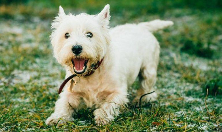 Dieta casera para perros insuficiencia hepatica