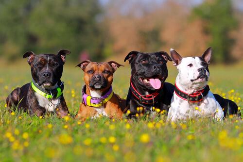 Remedios caseros para la dermatitis atópica en perros