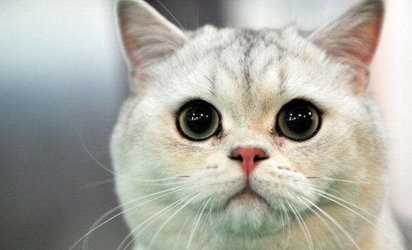 Síntomas de la giardia en gatos