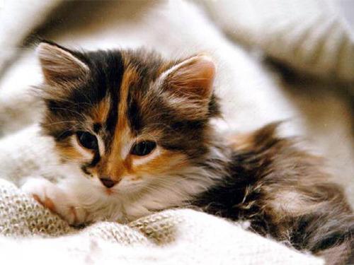 Síntomas de los hongos en gatos