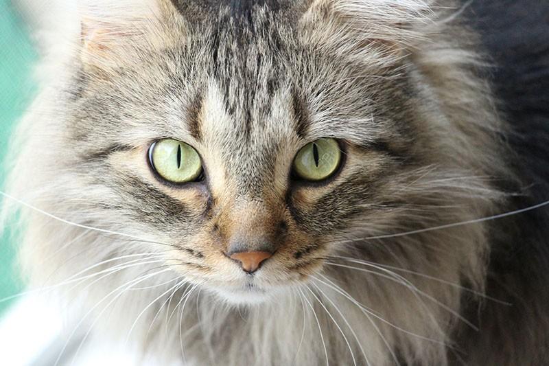 Señales de cáncer en gatos