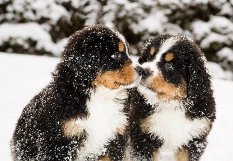 Señales de gingivitis en perros u otros problemas dentales