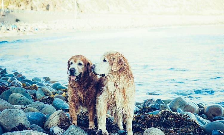 Te lo contamos todo sobre el apareamiento canino