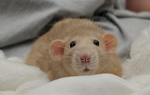 Tipos de ratas domésticas