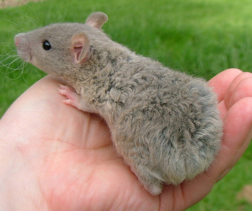 Tipos de ratas domésticas que existen