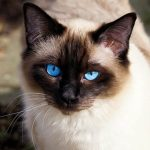 Todas las claves sobre la alopecia en gatos