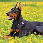 Todo sobre el entrenamiento para perros guardianes