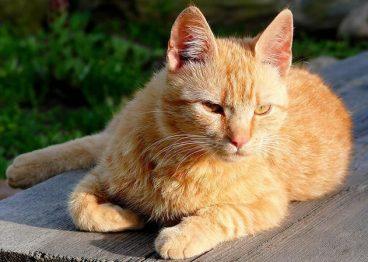 Todo sobre la raza de gato brasileño de pelo corto