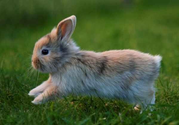 Tratamiento de la dermatitis en conejos