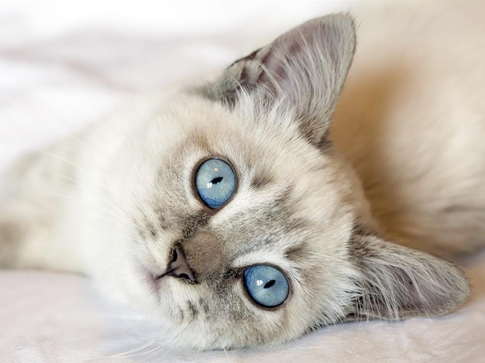 Tratamiento de la dermatitis en gatos