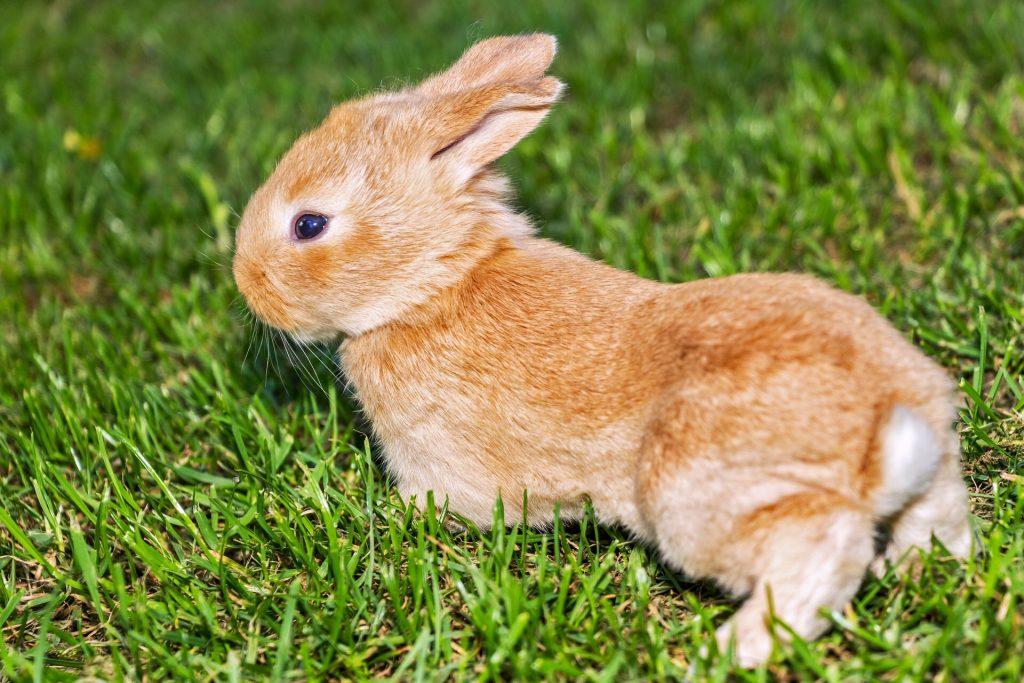 Tratamiento de la dermatofitosis en conejos
