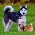 Tratamiento de la hepatitis en los perros
