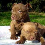 Tratamiento de la tiña en perros