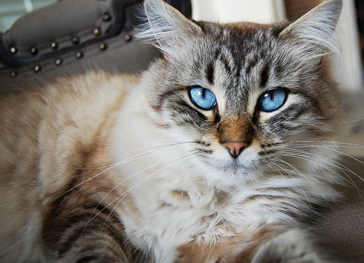 Tratamiento de los hongos en gatos