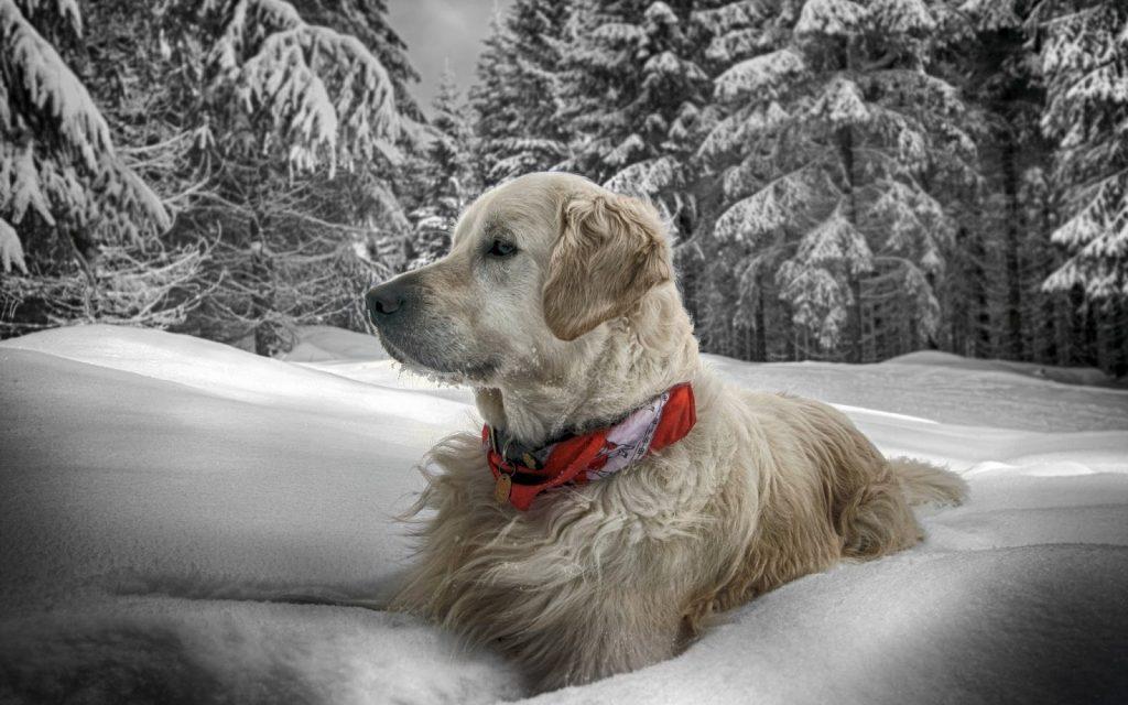 Tratamiento del resfriado en los perros