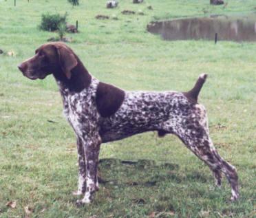 compañero humano ideal para un perro braco alemán