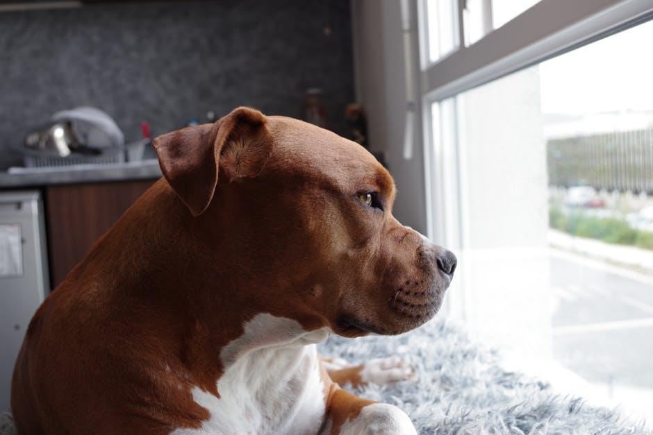 4. Que nuestros perros dejen de ser considerados peligrosos sólo por su raza