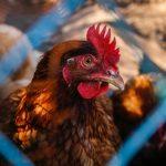 Aldi España dejará de vender huevos de gallinas enjauladas