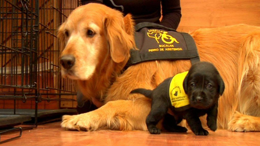 Cómo es el entrenamiento de los perros que pueden detectar la diabetes