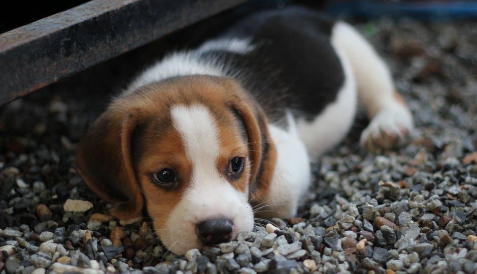 Causas de la amiloidosis en perros