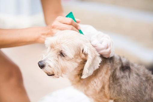 Enfermedades que transmiten las pulgas a los perros