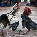 canarias prohibe peleas de gallos y circos con animales