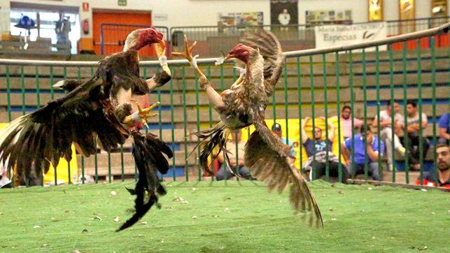 peleas de gallos canarias