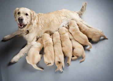 Por qué los perros se comen a sus crías