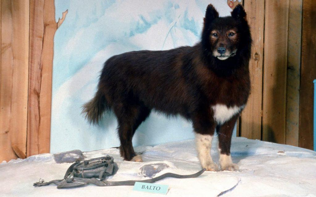 Balto- El perro que salvó a toda una ciudad de la epidemia