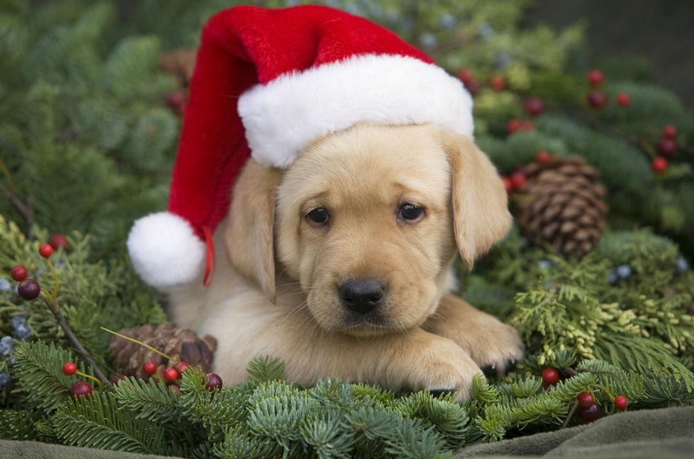 no mas cachorros por navidad
