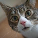 100 increíbles nombres para gatos