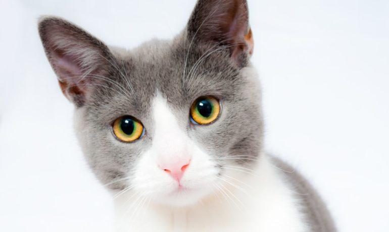 Cascabel para gatos