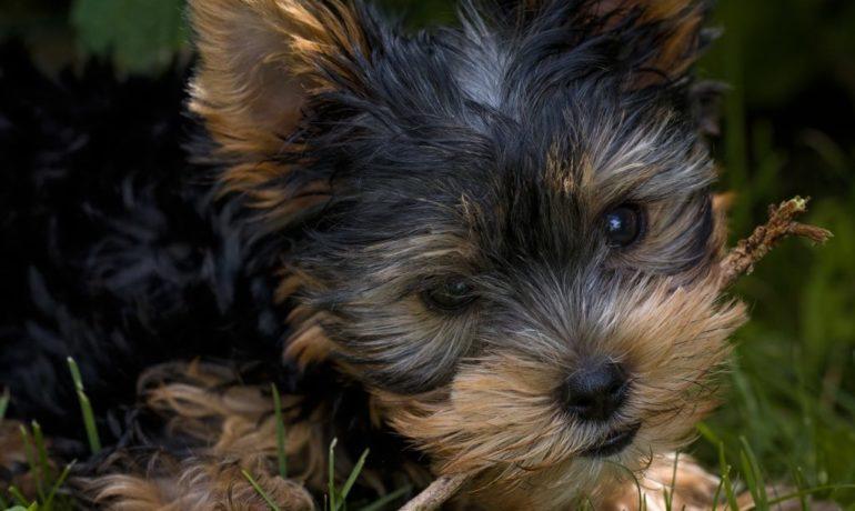 Los cuidados de los perros de raza pequeña