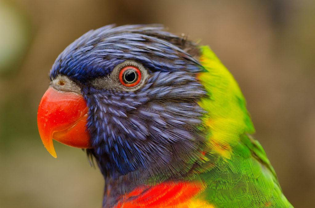 Un ave: Son inteligentes y viven muchos años
