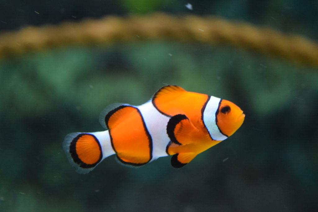 Un pez: una mascota muy tranquila que no requiere mucha atención.