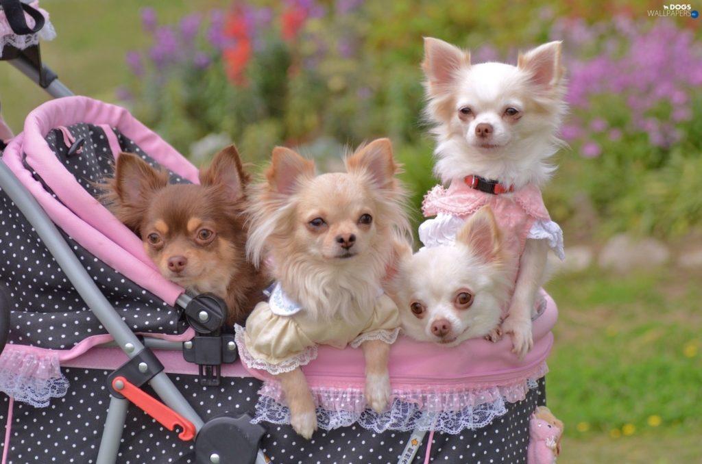 todo sobre los perros Chihuahuas