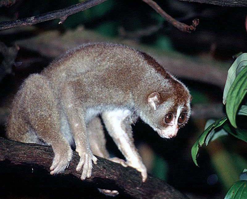 slow loris los animales exoticos