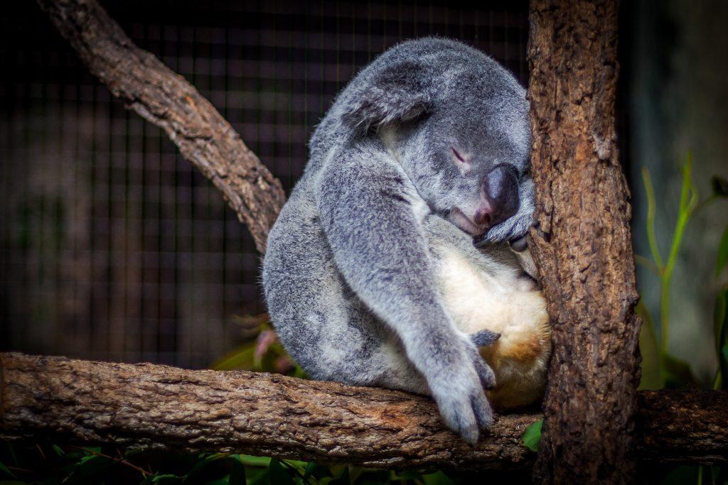 koala durmiendo en arbol
