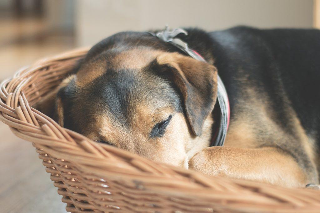 perro decaido dieta astringente