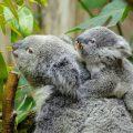 koala con cria arbol