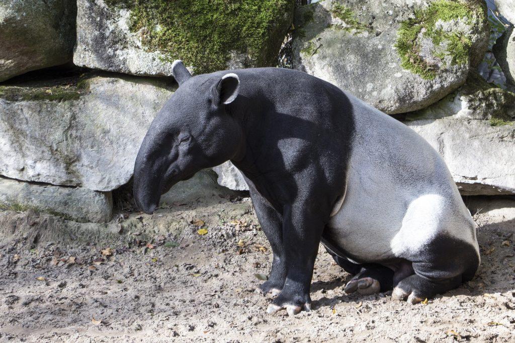 tapir entre los animales exóticos