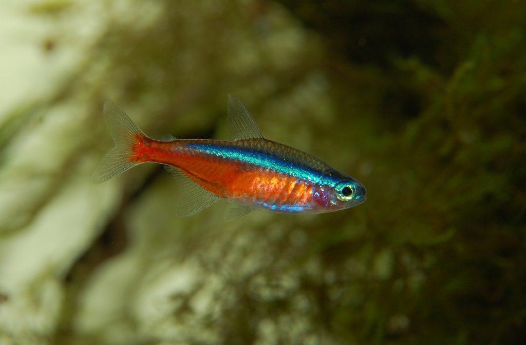 pez neon agua fria