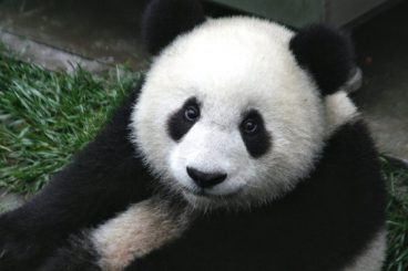 osos panda caracteristicas