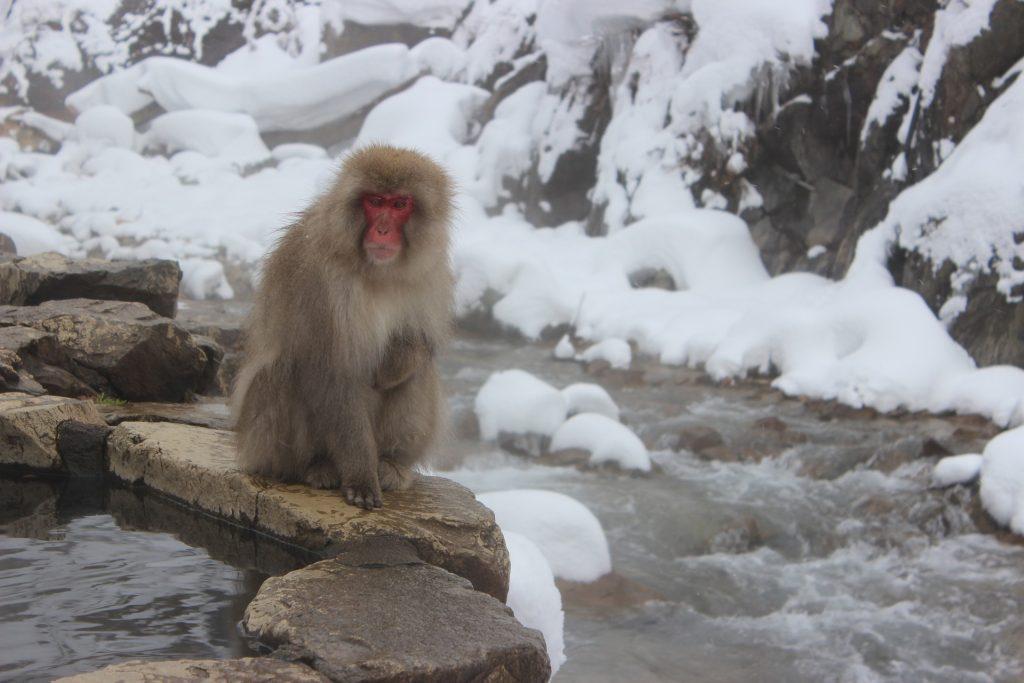 macacos onsen los animales exoticos