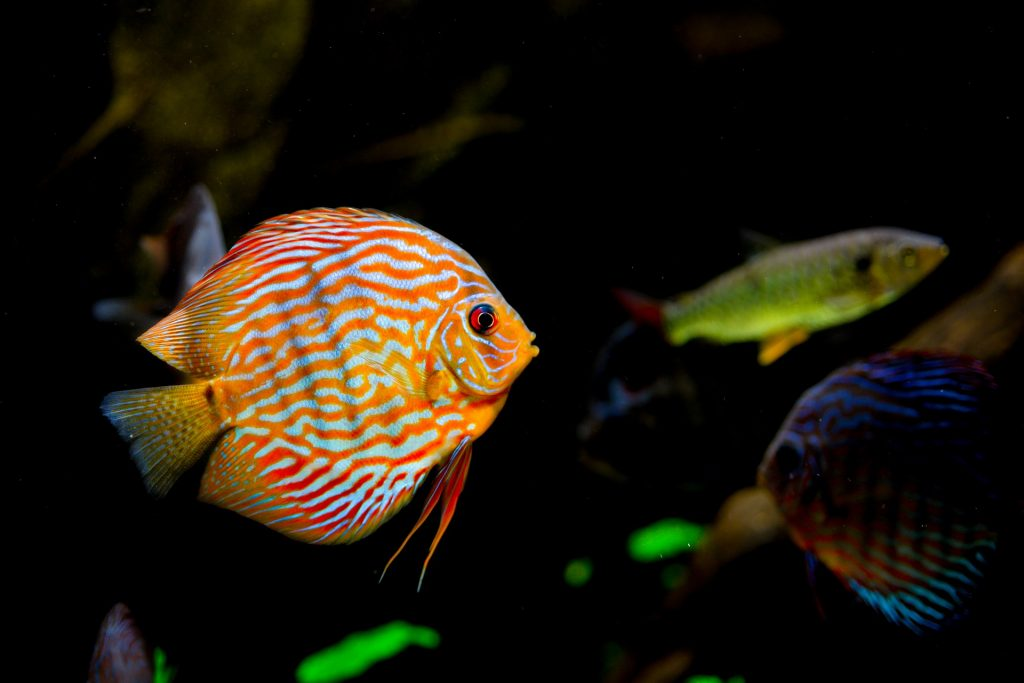 peces de agua fria tropicales