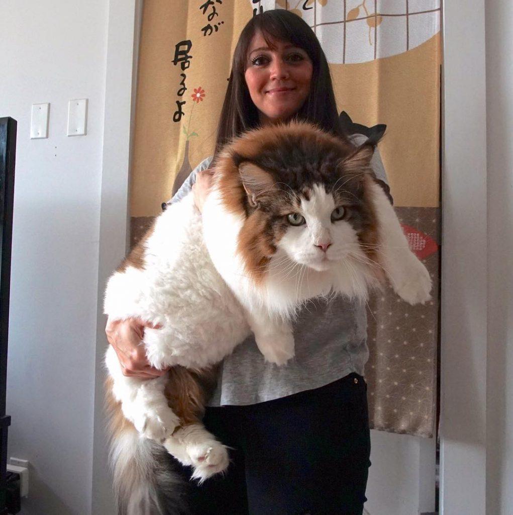 catstradamus gato gigante