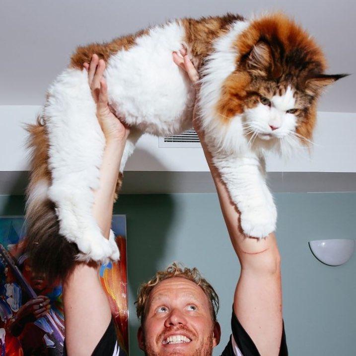 gato gigantesco redes sociales