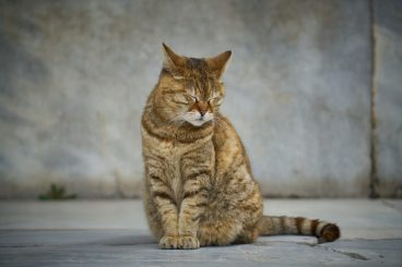 Hipertension en gatos