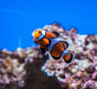 pez payaso peces de agua caliente